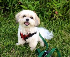 777a2781901 Teddy bear puppies for sale shichon puppies zuchon puppies Bear Dog Breed