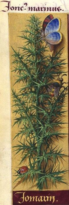Jomarin - Joncus marinus (Ulex europæus L. = ajonc, jonc marin) -- Grandes Heures d'Anne de Bretagne, BNF, Ms Latin 9474, 1503-1508, f°128v