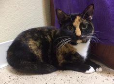 Autumn is an adoptable Tortoiseshell Cat in Pekin, IL Hello there everyone. I'm Autumn and I am 3 years old. I am a beautiful torti g ... ...Read more about me on @Petfinder.com.com