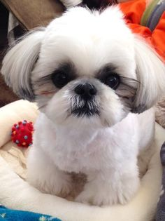 The Shih Tzu's cuteness matches her vibrant and spunky personality. A breed known for its luxurious coat and adorable appearance, the Shih Tzu needs a lot of grooming to keep her looking good.