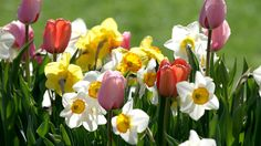 download.php (1920×1080) The Colour Of Spring, Flower Power, Tulips, Beautiful Flowers, Rose, Plants, Pictures, Colorful, Google Search