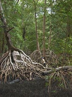 """""""Die Rote Mangrove (Rhizophora mangle) ist eine Pflanzenart innerhalb der Familie der Rhizophoragewächse (Rhizophoraceae). Die Rote Mangrove ist ein häufiger Mangrovenbaum. Ihr natürliches Verbreitungsgebiet umfasst die tropischen Küsten Westafrikas sowie Nord- und Südamerikas. Die am weitesten nördlich gelegenen Vorkommen finden sich auf den Bahamas und in Florida (USA), die südliche Verbreitungsgrenze liegt im brasilianischen Bundesstaat Santa Catarina. """" Rhizophora mangle-roots.jpg"""