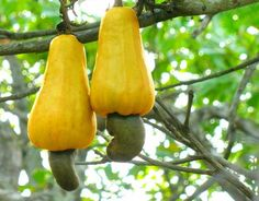 Cashews growing out of cashew apples. they are seriously cheap for how hard they are to harvest.