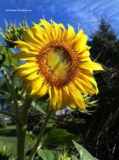 Taken with iPhone 4  Sunflower Power!  ©2011 www.kristadroop.com