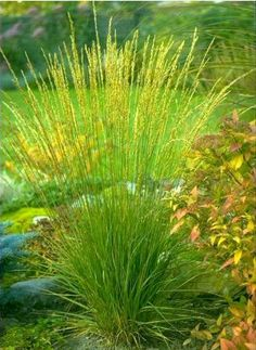 Acid soil so Wrong grass for me. Right idea. Types Of Grass, Splendour In The Grass, Colorful Plants, Ornamental Grasses, Plantation, Shade Plants, Back Gardens, Green Grass, Trees To Plant