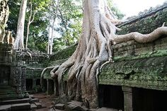 Deeply rooted - some of the Central American ruins are in fact being covered by trees so interconnectedly they can no longer be separated