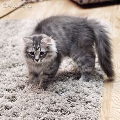Pictures of Siberian Cat Breed