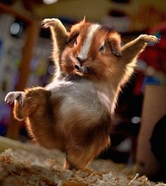 Kung-Fu hamster - wild-animals Photo