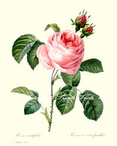 Botanical print of Rosa Centifolia painted in 1824 by P. J. Redoute. This beautiful pale rose print has been digitally restored to bring