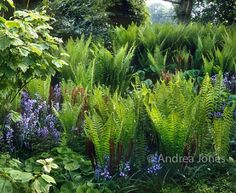 Spring border with Matteucia struthiopteris, Hyacinthoides non-scripta (bluebells), Hosta sp, Brunnera sp, Acer sp and Mahonia sp. Photo by Andrea Jones