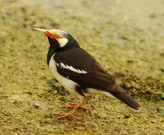 Asian Pied Starling | by gary1844
