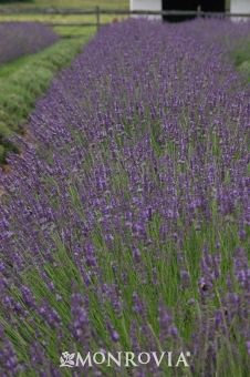 Monrovia's Phenomenal Lavender details and information. Learn more about Monrovia plants and best practices for best possible plant performance.