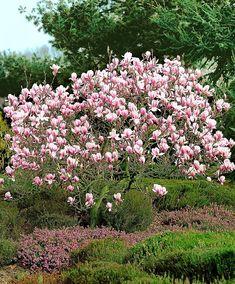 Magnólia (Magnolia x soulangeana) Magnolia Gardens, Magnolia Trees, Deciduous Trees, Trees And Shrubs, Flowering Trees, Trees To Plant, Small Natural Garden Ideas, Magnolia Soulangeana, Gardens