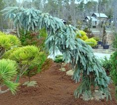 Picea pungens 'The Blues'  (Weeping Colorado Blue Spruce)  * Part shade  * Zones 2-8  * 5'-6' tall  * 3' wide  A Weeping, Colorado Blue Spruce!  Lush Powder Blue foliage!     Abeautiful weeping Colorado Spruce. Found on a side sport of a 'Glauca Pendula'.Has to be staked, leaves powder blue. Imagine a weeping Norway Spruce, but withbright blue leaves and larger needles. With no two plants alike, the strongly weeping branches