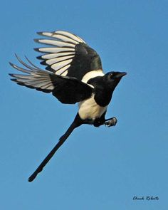 magpie - Google Search