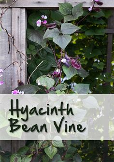 """The Hyacinth Bean Vine is a easy, reliable, annual vine. Click here to learn more in """"Gardener's Corner."""""""