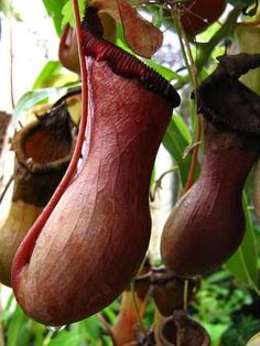Splendid Pitcher Plant, Borneo The largest of the pitcher plants, Nepenthes Edwardsiana, is only found in Malaysian Borneo and features a bulbous pitcher up to 50 cm (20 inches) in length. Don't be fooled by its exotic beauty—the splendid pitcher plant is one of the largest carnivorous plants and uses rolled leaves to trick prey into falling into its liquid-filled trap. Eating mostly insects, the plant is occasionally known to consume rats, frogs and lizards.
