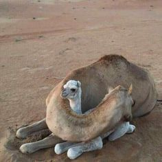 Tagged with funny, cute, memes, aww, awesome; Mother is always mother. So cute baby camel Nature Animals, Animals And Pets, Wildlife Nature, Wild Animals, Beautiful Creatures, Animals Beautiful, Cute Baby Animals, Funny Animals, Tier Fotos