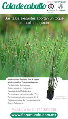 14 Ideas De Equisetum Cola De Caballo Cola De Caballo Cola De Caballo Planta Hierba Cola De Caballo