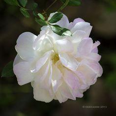 Rose by Darolanne Peterson, via Flickr