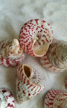 Red Troca Shell Natural shell Seashell Red seashell