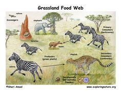 This is an African Savanna Food Web. See if you can identify all the parts of the food web that make this a functioning, healthy ecosystem.