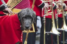This very regal hound on duty with the Royal Guard in Northern Ireland--I think Atticus needs a cape.