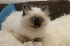 Sacred Birman Kitten | Cattery van de Simona's | The Netherlands | www.kittentekoop.nl