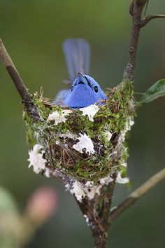 Black-naped Monarch sitting on his nest.  Love his little whiskers!
