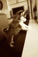 This Pin was discovered by Candy Sloane. I want a husky puppy. Love My Dog, Cute Husky, My Husky, Husky Puppy, Pomeranian Husky, Cute Puppies, Dogs And Puppies, Cute Dogs, Doggies