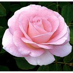 Weeks Roses® Falling in Love™