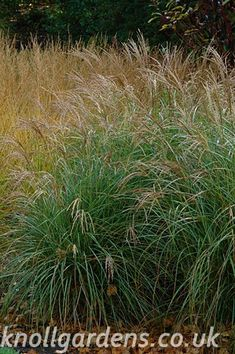 Miscanthus Starlight | Knoll Gardens | Ornamental Grasses and Flowering Perennials