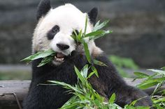Our giant pandas are offered 42 to 64 kg of bamboo each day, that's two hungry pandas!   #ErShun #torontozoo #animals #pandas #giantpandas #hungry