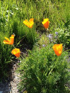 California poppys