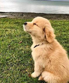 Golden Retriever & Why Are They The Perfect Pets Welpe liebt die Brise! The post Golden Retriever & Warum sind sie die perfekten Haustiere appeared first on Animal Bigram Ideen. Cute Baby Dogs, Cute Dogs And Puppies, Doggies, Puppies Puppies, Labrador Puppies, Beagle Puppy, Cute Animals Puppies, Adorable Dogs, Chihuahua Dogs