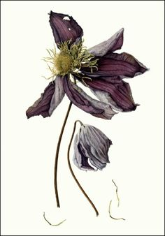 Julia Trickery Larger than Life - Fading Clematis
