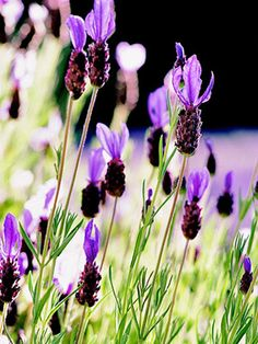 Lavandula stoechas or French Lavender's delicate plooms and plump flower heads create a cosier texture and provide a more pink-toned purple than the statuesque English grown varieties.