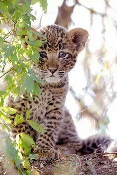 El leopardo (Panthera pardus) Cachorros de leopardo son capaces de trepar a los árboles en el momento en que cumplen las seis semanas de edad. Los cachorros pueden tener que estar solos por períodos de hasta 36 horas, mientras la madre esta de caza.