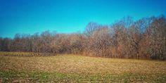 Birds in a Cornfield #corn #crops #field #birds #birdstorm #flock #migration #winterdays #wintercrops #naturelovers #bluesky #birdphotography #tennessee #naturegram #tullahoma #natureshots #harvest #winter