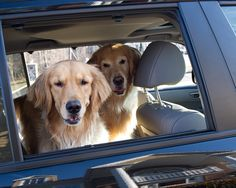 Goin' for a ride! A golden's favorite thing. :)