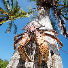 Meet the coconut crab: a land crab so big and powerful, it can break open coconuts with its pincers, and even hunt rats - Indian Ocean Tahiti, Coconut Crab, Thinking Day, Sea Monsters, Island Girl, Guam, Beautiful Islands, Sea Creatures, Predator