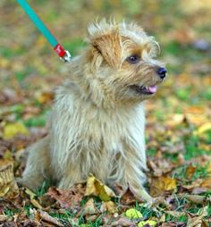 A Norfolk Terrier is always ready for the chase. #terrier #dog