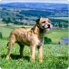 Scotland's Border Terrier, where they were bread to run with the horses and hunt fox.