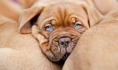 Bildergebnis für bordeaux dogge