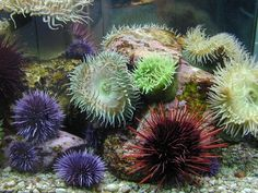 sea urchins | the sea urchin is found across the ocean ...