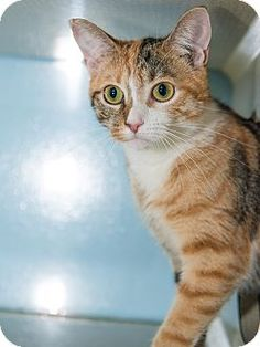 Nutmeg is a kitten available for adoption at the Humane Society of New York.