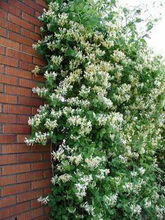 Lonicera caprifolium - Kaprifol Klängväxter - Växter