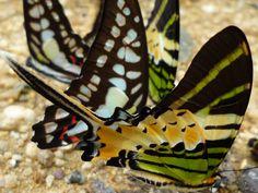 Butterflies of Sumatra
