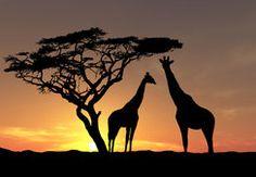 Animaux, Afrique, faune, girafes, arbres, ciel, photo, soir, coucher de soleil