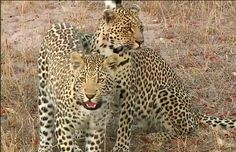 #SafariLive #PicOfTheWeek: Mother and son: Shadow and Sindile   Photo by @jhbleopard